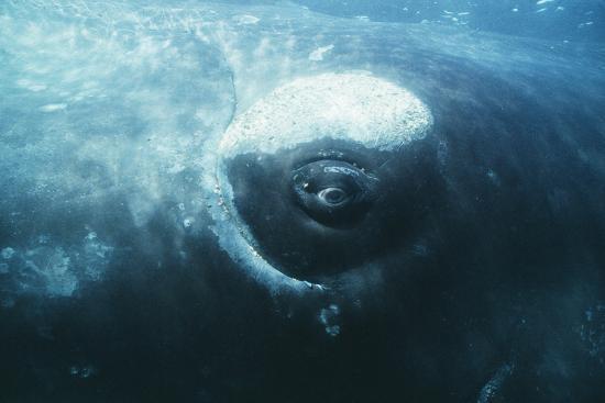 doug-allan-southern-right-whale-s-eye