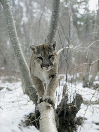 dr-maurice-g-hornocker-a-mountain-lion-walks-along-a-tree-branch-in-winter