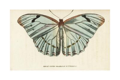 Morpho epistrophus catenaria (type specimens)