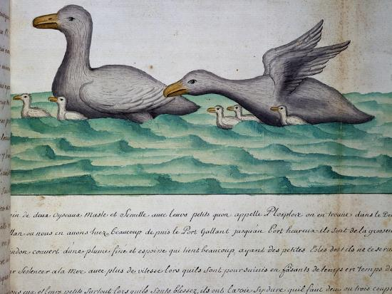 ducks-called-ploplos
