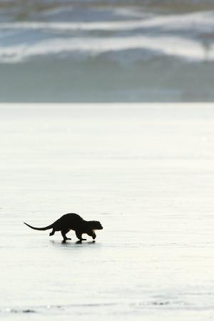 duncan-shaw-european-otter-on-sea-ice