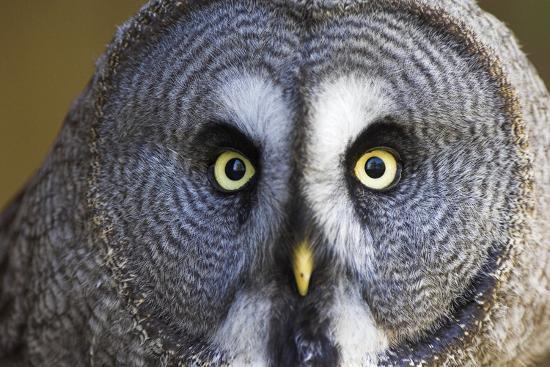 duncan-shaw-great-grey-owl