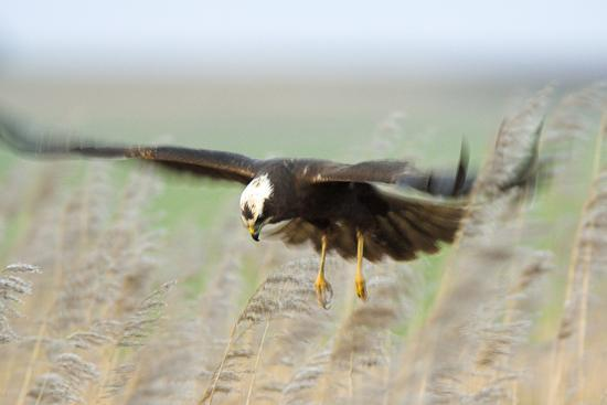 duncan-shaw-marsh-harrier