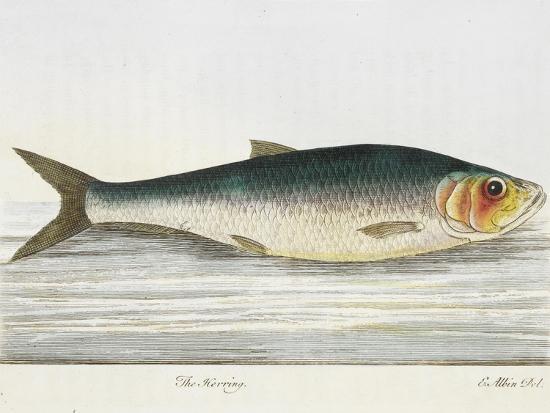 e-albin-the-herring