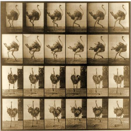 eadweard-muybridge-image-sequence-of-an-ostrich-running-animal-locomotion-series-c-1887
