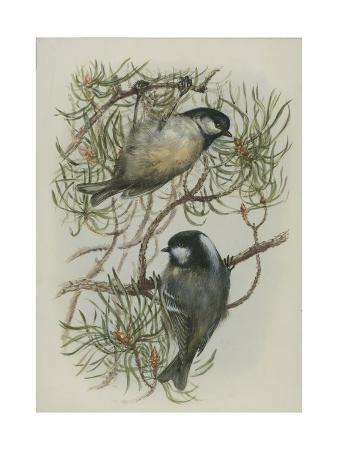 edward-adrian-wilson-coal-tit-illustration-from-a-history-of-british-birds-by-william-yarrell-c-1905-10