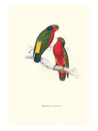 edward-lear-kuhl-s-parakeet-vini-kuhli