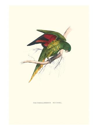 edward-lear-lesser-maton-s-parakeet-trichoglossus-haematodus