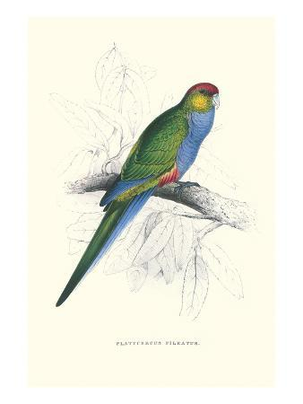 edward-lear-red-capped-parakeet-female-purpureicephalus-spurius
