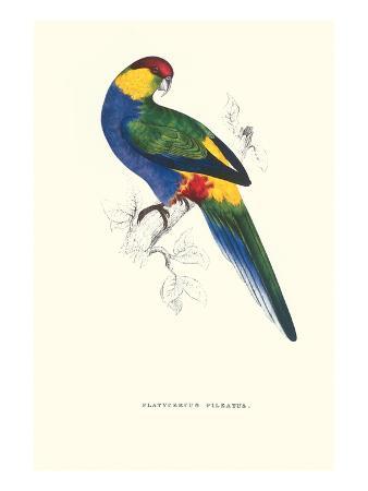 edward-lear-red-capped-parakeet-male-purpureicephalus-spurius