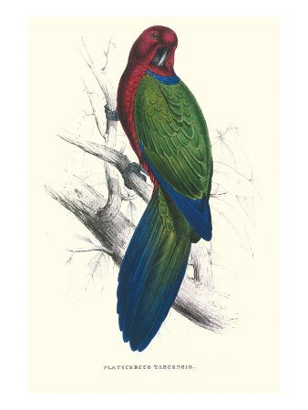 edward-lear-tabuan-parakeet-prosapeia-tabuensis