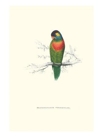 edward-lear-variegated-parakeet-trichoglossus-versicolor