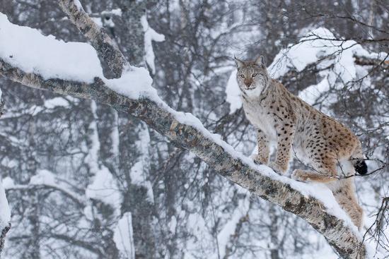 edwin-giesbers-european-lynx-lynx-lynx-climbing-a-tree-captive-norway-february