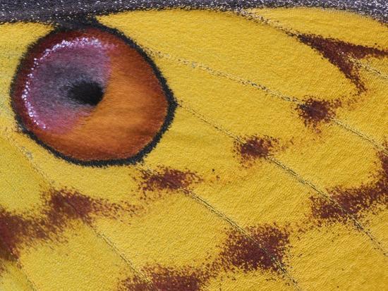 edwin-giesbers-madagascar-moon-moth-close-up-of-wing-madagascar