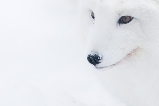 edwin-giesbers-portrait-of-an-arctic-fox-vulpes-lagopus-captive-norway-february