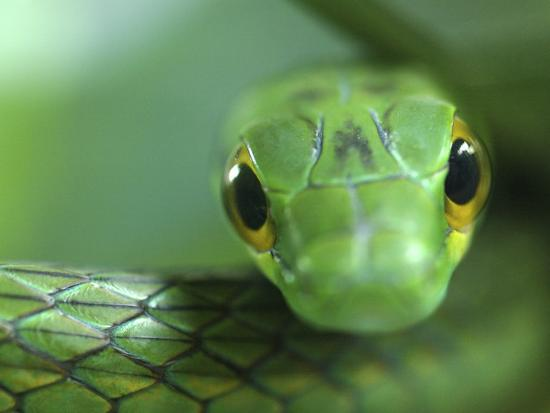 edwin-giesbers-satiny-parrot-snake-close-up-costa-rica