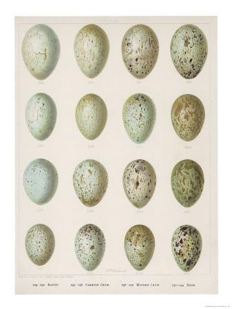 eggs-of-raven-crows-rooks-and-jackdaws