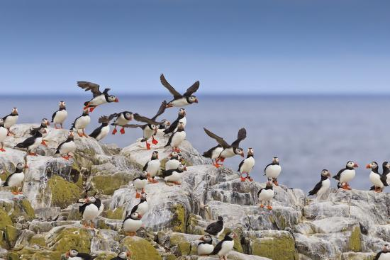 eleanor-scriven-atlantic-puffins-fratercula-arctica-take-flight-from-a-cliff-top-inner-farne-farne-islands