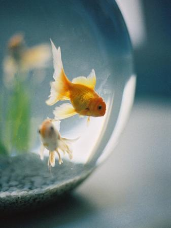 elisa-cicinelli-goldfish-in-fish-bowl