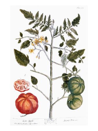 elizabeth-blackwell-tomato-plant-1735