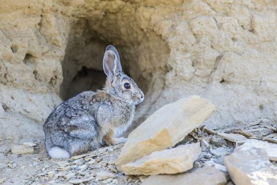 elizabeth-boehm-lincoln-county-a-cottontail-rabbit-sits-in-front-of-it-s-hole-in-the-desert-of-wyoming