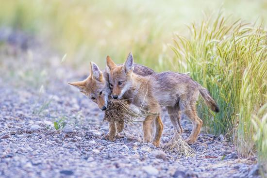 elizabeth-boehm-montana-red-rock-lakes-national-wildlife-refuge-two-coyote-pups-play-with-a-clump-of-grass