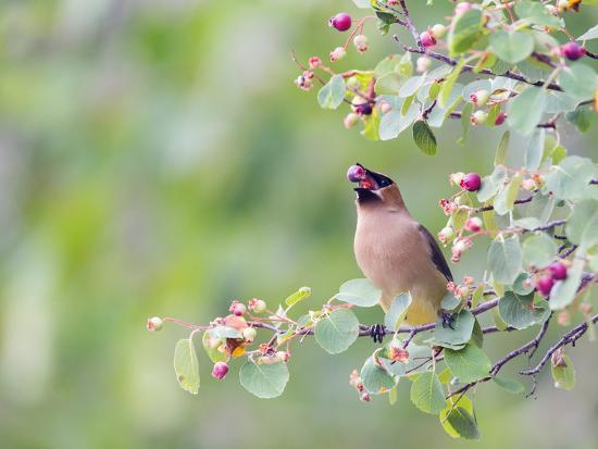 elizabeth-boehm-usa-wyoming-cedar-waxwing-eating-fruit-from-serviceberry-shrub