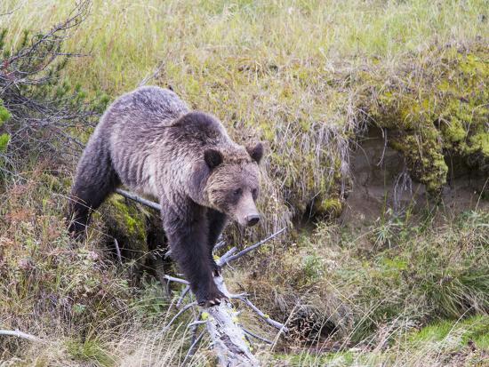 elizabeth-boehm-usa-wyoming-yellowstone-national-park-grizzly-bear-crossing-log