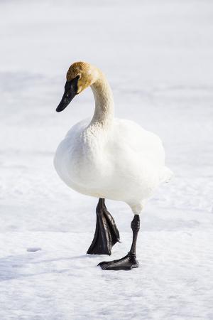 elizabeth-boehm-wyoming-national-elk-refuge-trumpeter-swan-walking-on-snowy-ice