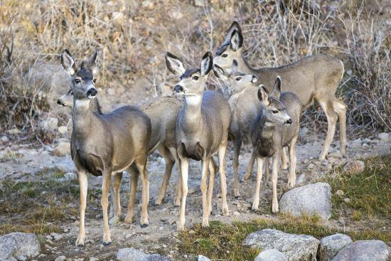elizabeth-boehm-wyoming-sublette-co-mule-deer-does-and-fawns-during-autumn-migration