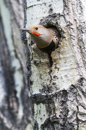 elizabeth-boehm-wyoming-sublette-county-northern-flicker-peering-from-nest-cavity