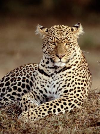 elizabeth-delaney-leopard-east-africa