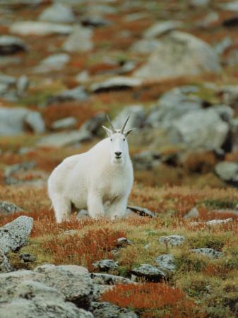 elizabeth-delaney-mountain-goat-oreamnos-montanus