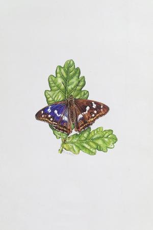 elizabeth-rice-purple-emperor-butterfly-on-oak-leaves