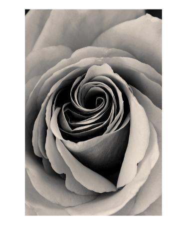 ella-lancaster-rose