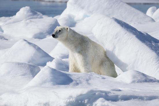 ellen-goff-arctic-norway-svalbard-spitsbergen-pack-ice-polar-bear-polar-bear-rubbing-on-ice