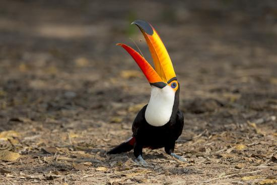 ellen-goff-brazil-mato-grosso-the-pantanal-toco-toucan-feeding-on-insects