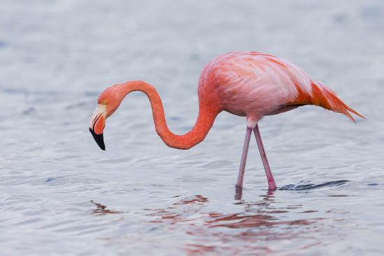 ellen-goff-ecuador-galapagos-islands-floreana-punta-cormoran-greater-flamingo-feeding