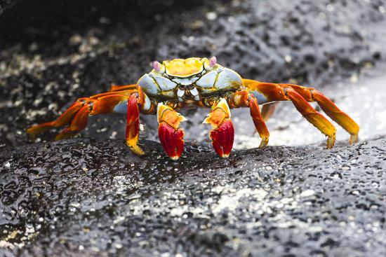 ellen-goff-ecuador-galapagos-islands-sombrero-chino-sally-lightfoot-crab-on-wet-rocks