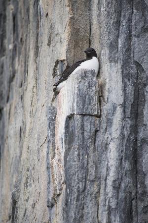 ellen-goff-norway-svalbard-alkefjellet-bird-cliffs-thick-billed-murre-brunnich-s-guillemot-on-cliff-face