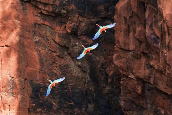 ellen-goff-south-america-brazil-mato-grosso-do-sul-jardim-red-and-green-macaws-flying-in-the-sinkhole