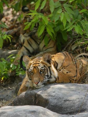 elliot-neep-bengal-tiger-11-month-old-cub-on-rocks-madhya-pradesh-india