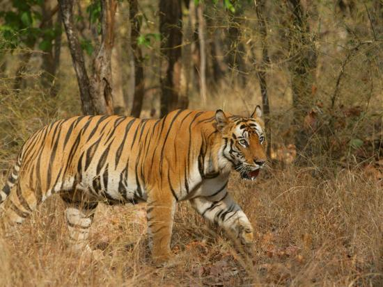 elliot-neep-bengal-tiger-male-walking-in-grass-madhya-pradesh-india