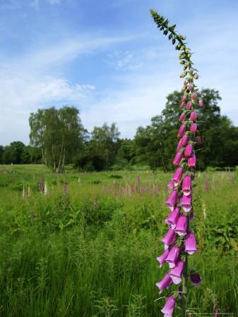 elliot-neep-foxglove-ruislip-woods-national-nature-reserve-uk