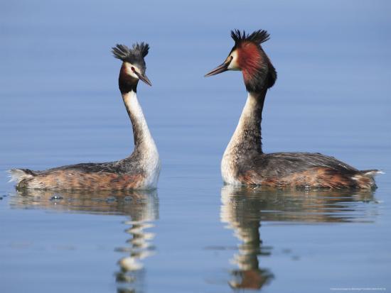 elliot-neep-great-crested-grebes-pair-courting-lake-geneva-switzerland
