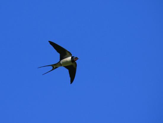 elliot-neep-swallow-in-flight-pembrokeshire-uk