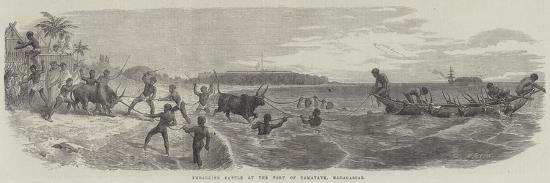 embarking-cattle-at-the-port-of-tamatave-madagascar