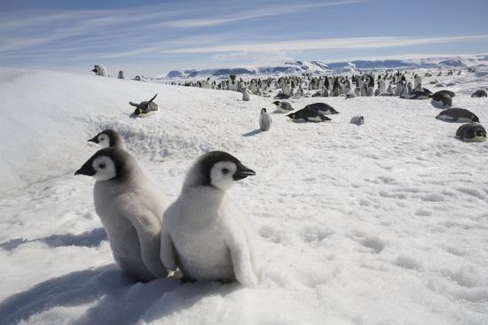 emperor-penguin-chicks-in-antarctica