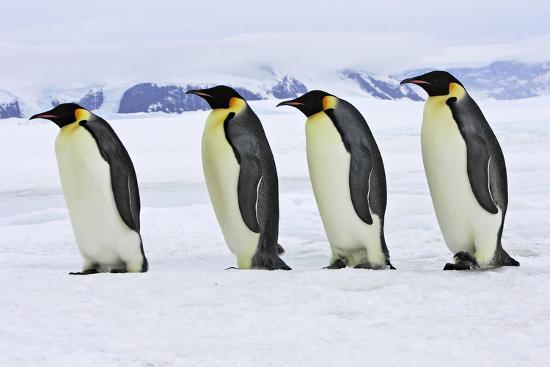 emperor-penguin-four-adults-walking-across-ice