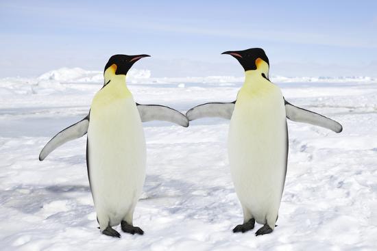 emperor-penguin-pair-holding-hands